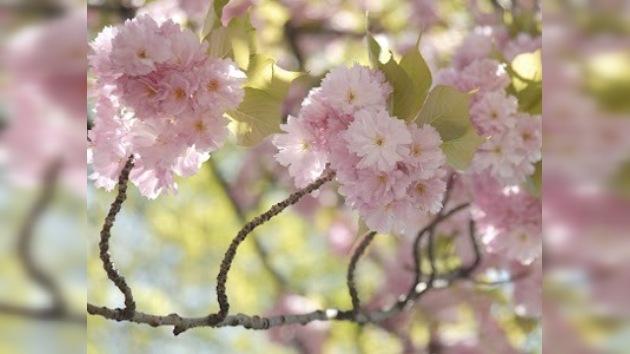Festival del Cerezo en Flor se celebra en Washington