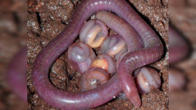 Descubren una nueva especie de anfibios en la India