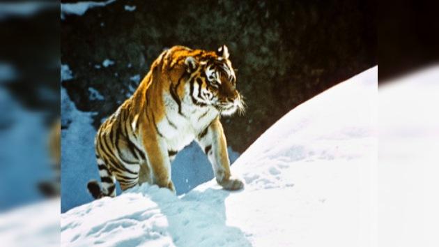 Rusia y China firman acuerdo para proteger a los tigres de Amur
