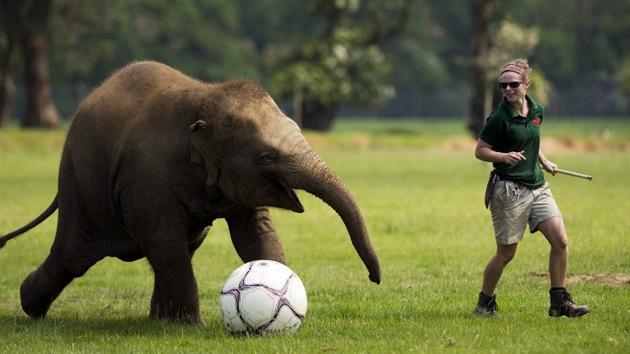 VIDEO: Un 'Mara-Donna' elefante se entrena para la Eurocopa