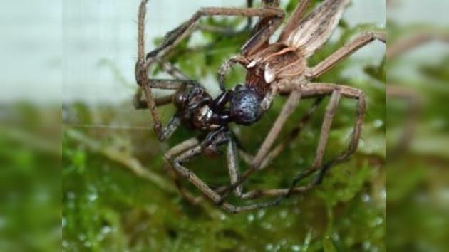 Arañas macho de Pisaura engañan a sus hembras con regalos 'baratos'