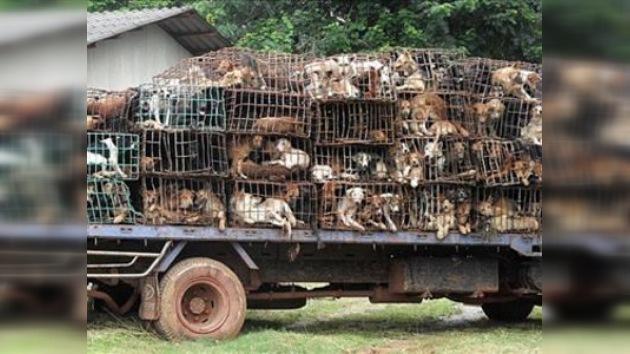 2.000 canes rescatados en Tailandia antes de llegar a las mesas de Vietnam