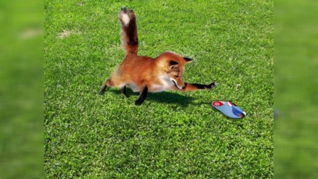 Un zorro cleptómano deja descalza a una localidad alemana