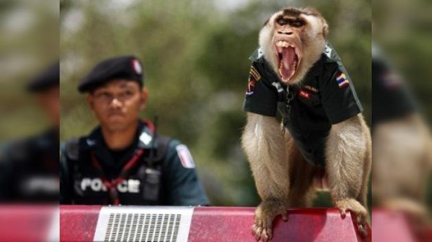 Los monos 'policías' hacen la guardia en el sur de Tailandia