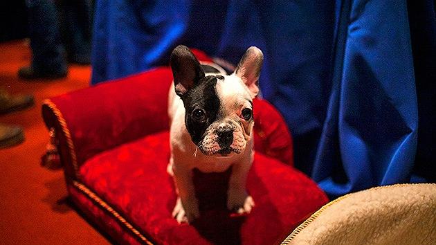 No se deje engañar por sus ojitos tristes: los perros no sienten culpa