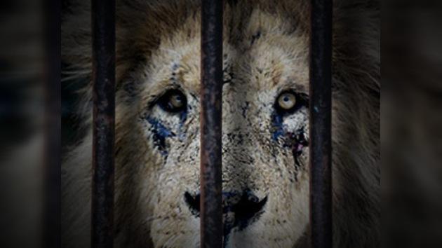Los animales de un zoo abandonado están pasando hambre en Ucrania