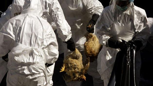 El virus H5N1 muta y acelera su contagio por el aire
