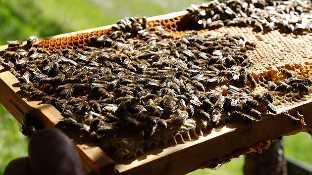Descubren por qué las abejas abandonan misteriosamente sus colmenas