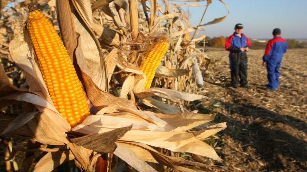 Rusia cierra sus puertas al maíz de Monsanto