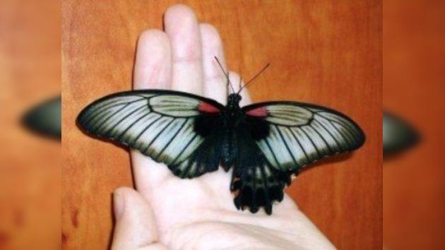 Un estudiante ruso hace un exitoso trasplante de ala a una mariposa tropical
