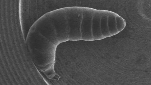 Video: Científicos japoneses diseñan un 'nanotraje' para larvas