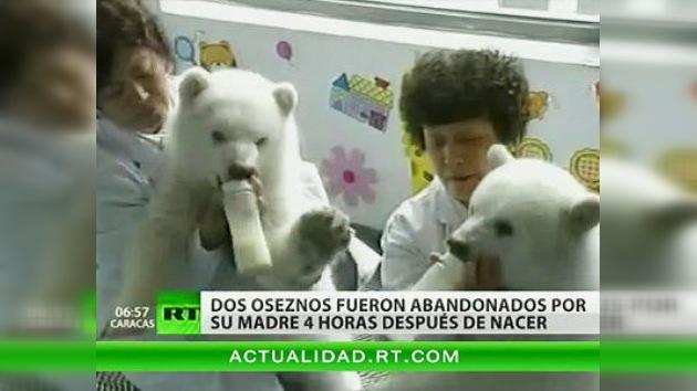 Un zoo chino presenta al público a dos ositos polares nutridos artificialmente