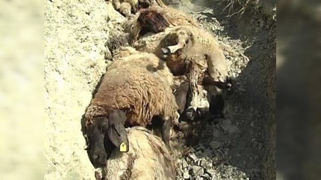 Más de 50 ovejas se suicidan en Turquía siguiendo a un carnero