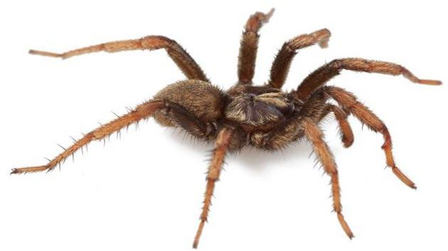 Bautizan una nueva especie de araña en honor a Obama