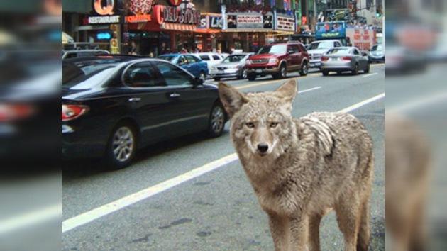 La policía tardó dos días en atrapar un coyote que vagaba por Nueva York