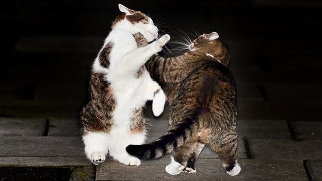 Batalla en Downing Street: la Policía tiene que separar a los gatos de Cameron