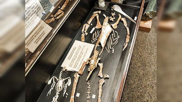Reconstruyen el fósil del pingüino prehistórico más grande