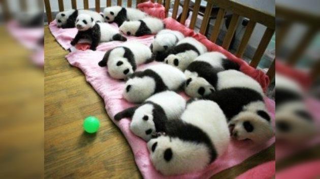China pasa lista a los osos panda