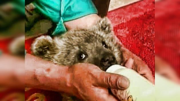 Dos oseznos abandonados por su madre juegan con un cachorro de tigre en una reserva china