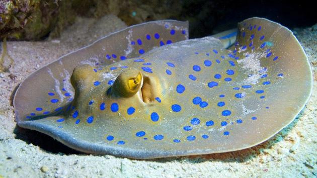"""Revelan el secreto de la """"biobatería"""" de los peces eléctricos"""
