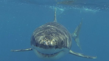 Un tiburón de 5 metros se lía a mordiscos con un barco de pescadores  5de7a1919192b6efece48666f4c7a356_article430bw