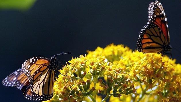 Los transgénicos 'destronan' a las mariposas Monarca y amenazan su migración a México