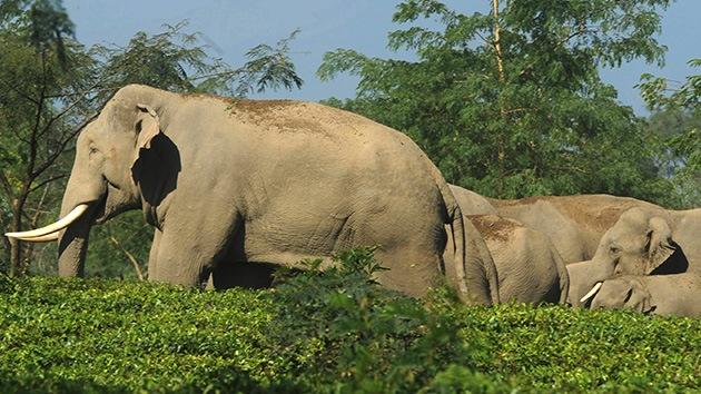 Un tren arrolla un elefante y su manada acude a diario para recordarlo y vengarse