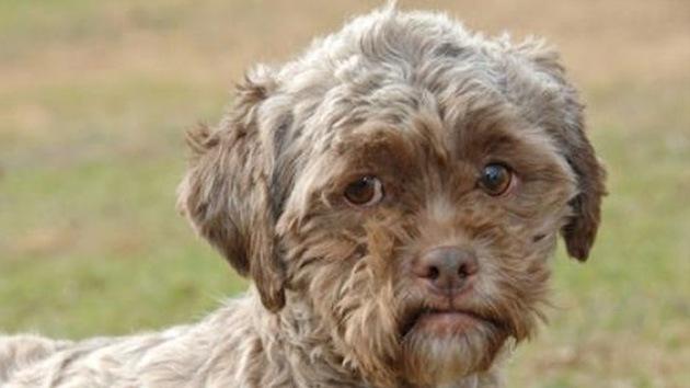 Perro con 'rostro humano' escapa de ser sacrificado en EE.UU. y busca un dueño
