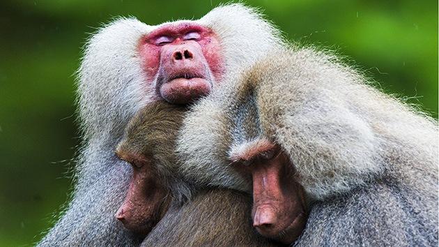 Apatía en masa: ¿Qué asustó a los babuinos de un zoológico de los Países Bajos?