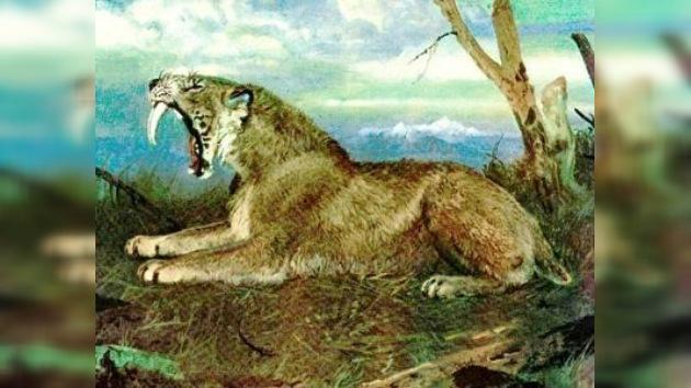 Descubren cómo mataban los tigres dientes de sable a sus presas