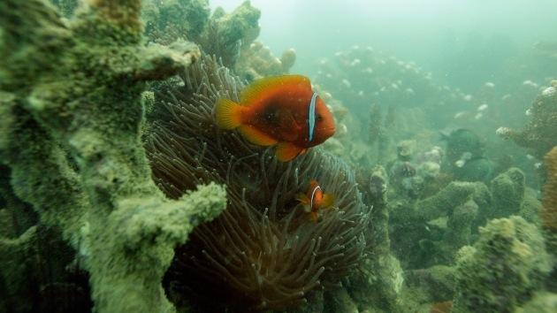 Descubren 'invisible' arrecife de coral único en las aguas costeras de Irak