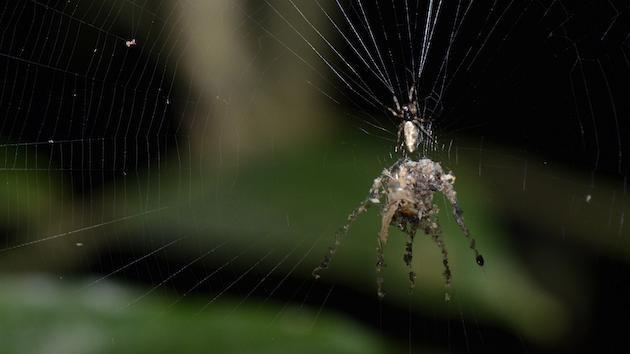 Araña 'titiritera': descubren una nueva especie de arácnido que fabrica marionetas