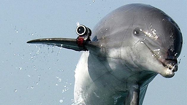 El Ministerio de Defensa ruso desmiente haber realizado maniobras con delfines de combate