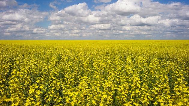 Cizaña transgénica: Dos agricultores de Australia van a juicio por culpa de los OMG