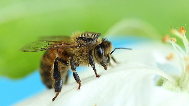 Sensores instalados en abejas explican su no extinción