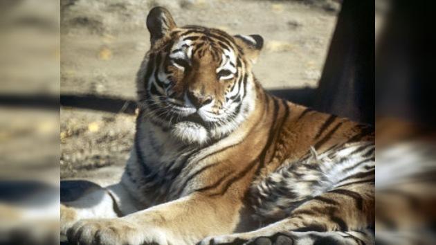 Los tigres rusos ayudarán a los iraníes a sobrevivir