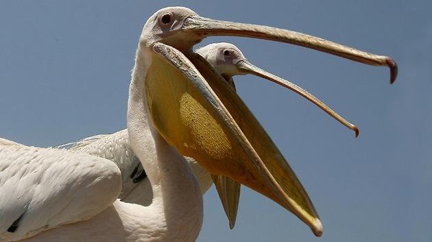 El fósil de un ave prehistórica gigante asoma el pico en Perú