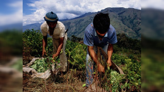 Perú le hace sombra a Colombia en cultivo de hoja de coca