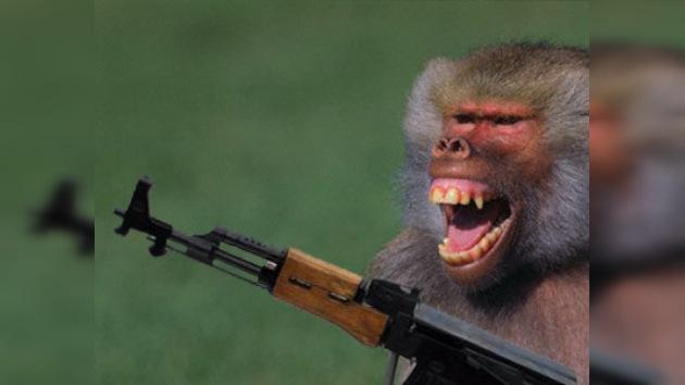 Los talibanes preparan un ejército de monos armados con Kaláshnikov