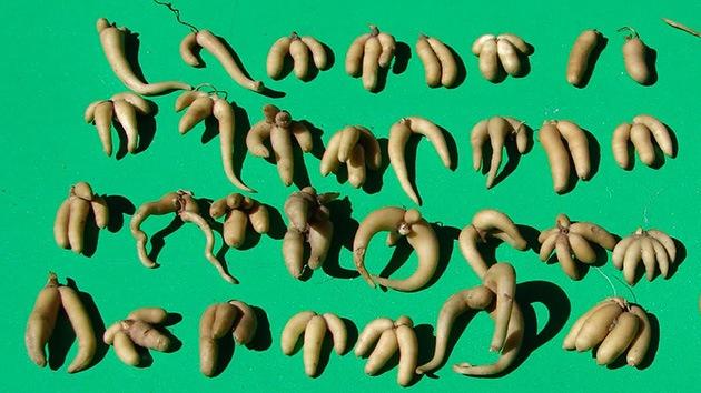 El kuchucho, una raíz peruana, prolonga la vida más allá de los 100 años
