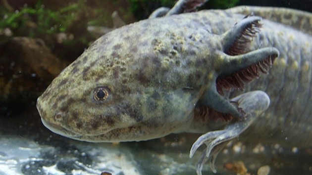 ¿Dónde se ha metido el ajolote?: México teme por la suerte de su 'monstruo acuático'