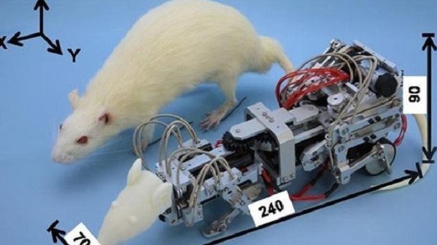 Japón crea una rata-Terminator que 'vuelve locos' a los ratones de laboratorio