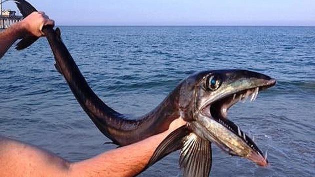 Hallan un pez muy infrecuente de aguas profundas varado en la costa de EE.UU.