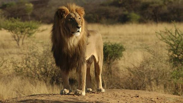 Hay amores que matan: Un león ataca a una joven cuando ella intentó besarle