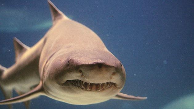Más valioso vivo que muerto: Un tiburón puede generar un 'mar' de beneficios