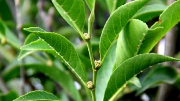 Hallan en Filipinas una nueva especie de planta que se alimenta de níquel