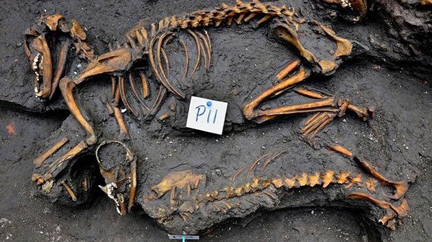 Video, fotos: Hallan en México un inusual entierro prehispánico de perros en grupo