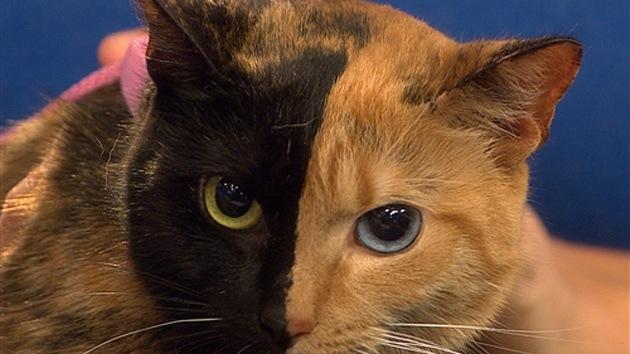Video: La gata 'de dos caras' causa furor en Internet y aturde a los científicos