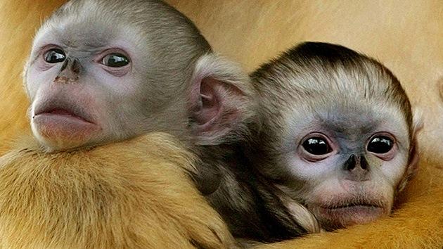 Investigadores chinos crean por primera vez monos con mutaciones genéticas controladas