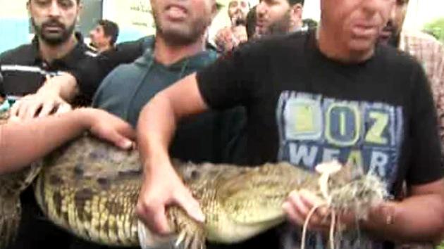 Atrapan un cocodrilo que vivió dos años en las alcantarillas